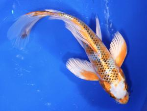 Hikarimoyo koi fish next day koi for Orange koi fish meaning