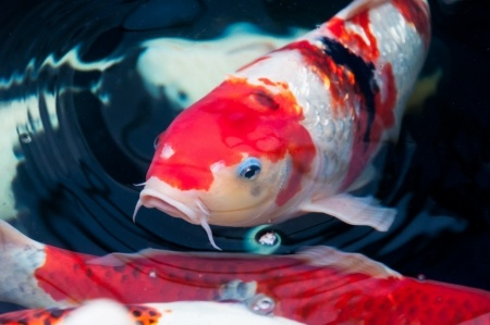 Keeping koi fish indoors next day koi for How much is a koi fish
