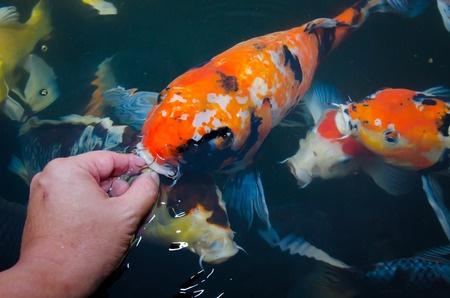 koi fish treats next day koi