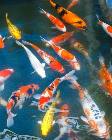 Quarantining your koi fish next day koi for Koi fish value