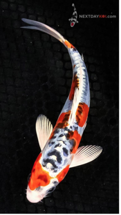 Hikarimoyo koi fish next day koi for Koi fish value