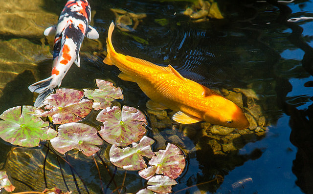 Koi fish clubs and societies next day koi for Where to buy koi fish near me