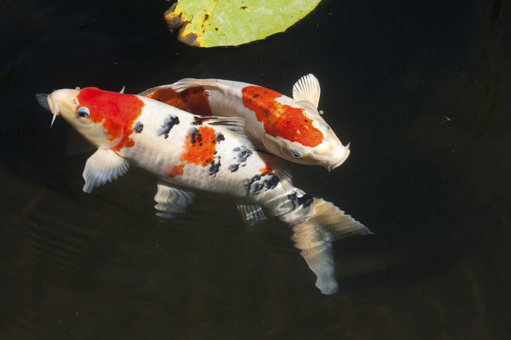 Putting Your Koi Under The Microscope Next Day Koi